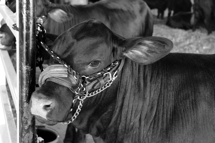 Dierenliefde en diergebruik sluiten elkaar uit