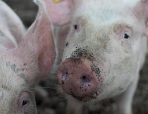 Actie op varkensboerderij in Boxtel