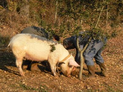 Een varken die getraind is om truffels te vinden, snuffelt de bosgrond waar mogelijk een truffel zit. De big heeft een rode halsband om. Daarnaast staan twee mannen in overall en hoge laarzen gebukt te graven op de plek waar het varken snuffelt.