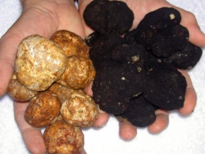 Een hand gevuld met witte truffels en een hand gevuld met zwarte truffels.