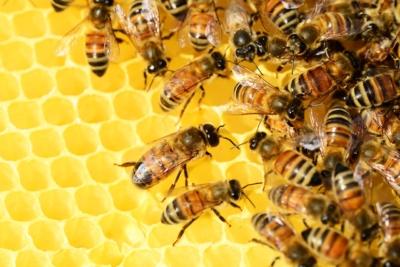 Honingbijen op een honingraat