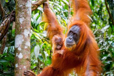 Orangoetan met baby